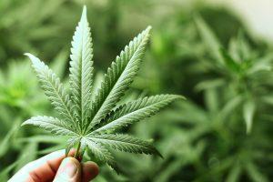 Cannabis psychosis